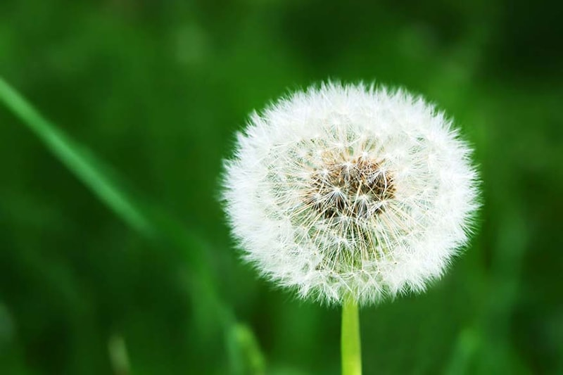 Dandelion flower in Broussard relating to air conditioner filtration to help allergies